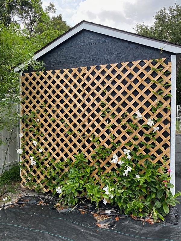 shed lattice mandevilla